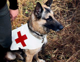 A German Shepherd wearing a vest with the AMEDD cross